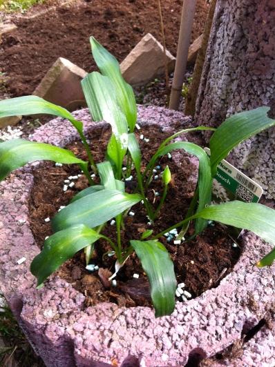 Bärlauch (Wild garlic) - love this thing!